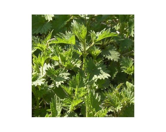 Hydrolat (eau florale) bio : Ortie
