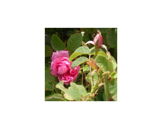 Hydrolat (eau florale) bio : Rose de Damas