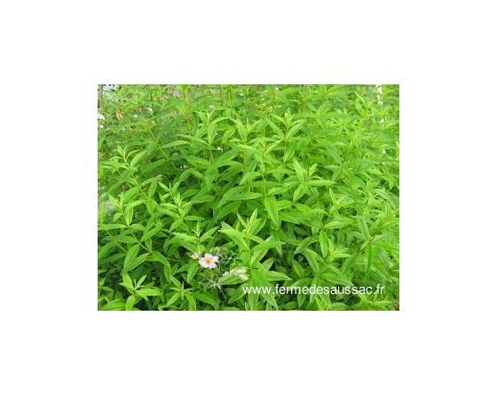 Hydrolat (eau florale) bio : Verveine odorante